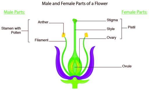diagram of flower parts male and female image collections how to guide and refrence. Black Bedroom Furniture Sets. Home Design Ideas